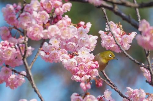 椿寒桜 (2)