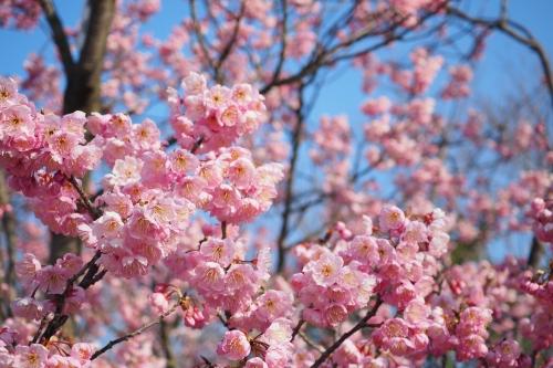 椿寒桜 (1)