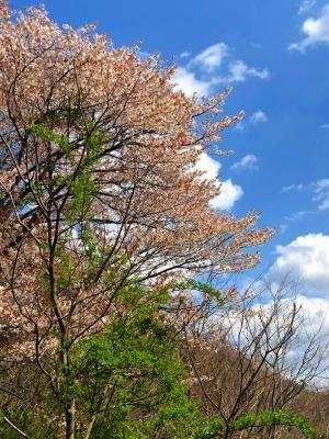 3.31_山桜