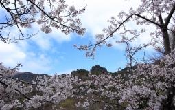山麓にある山岳霊場の染井吉野_03.29